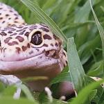 how do lizards hear
