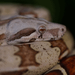 how long can a red-tailed boa constrictor go without eating