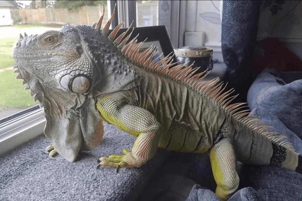 what lizards are poisonous (venomous)