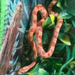 how long do snakes live in captivity