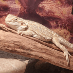 can bearded dragons eat applesauce