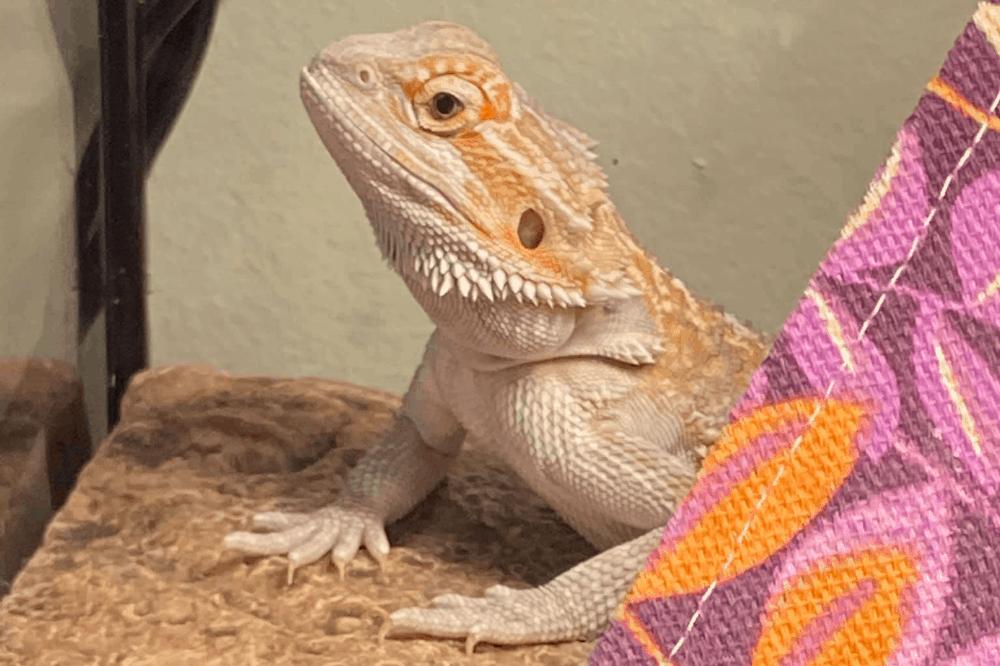 bearded dragon underbite