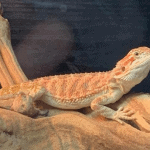can bearded dragons drink milk