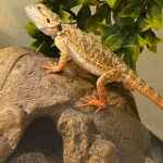 bearded dragon skin conditions