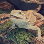 can bearded dragons eat feeder fish