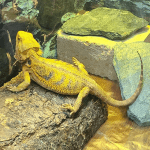 can bearded dragons eat hard boiled eggs