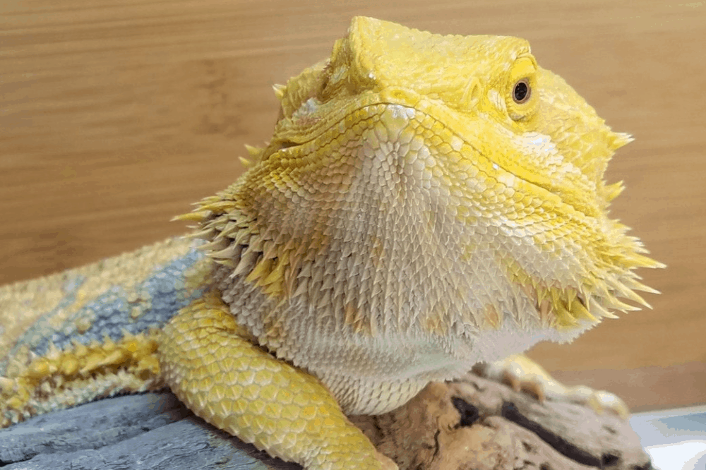 scale rot bearded dragon