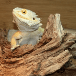 can bearded dragons eat pomegranate