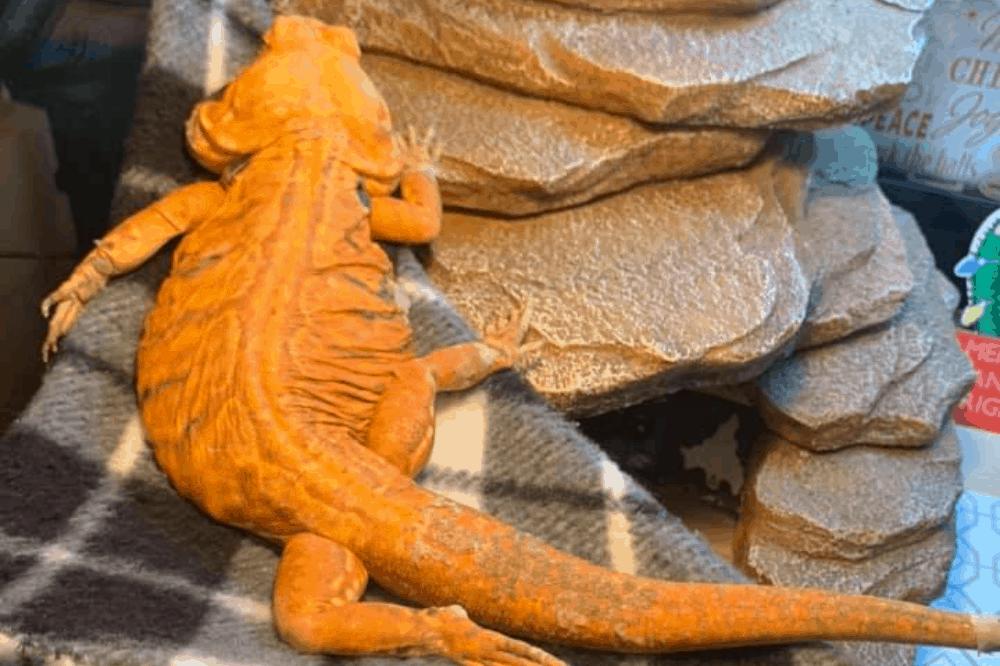 bearded dragon diarrhea treatment