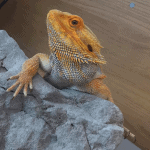 can bearded dragons eat locusts