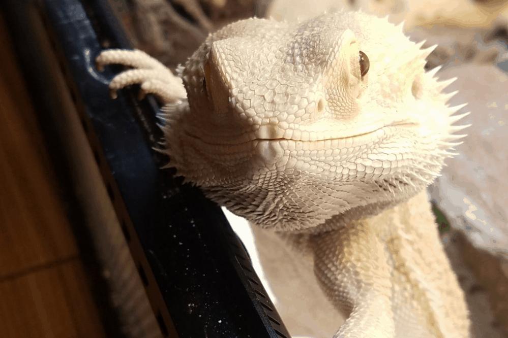 can bearded dragons eat mandarin oranges