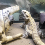 can bearded dragons eat alfalfa sprouts