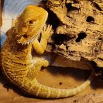 do bearded dragons pee
