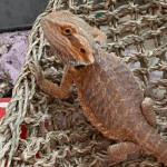 can bearded dragons eat popcorn