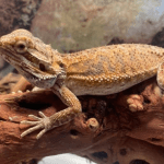 can bearded dragons eat cranberries