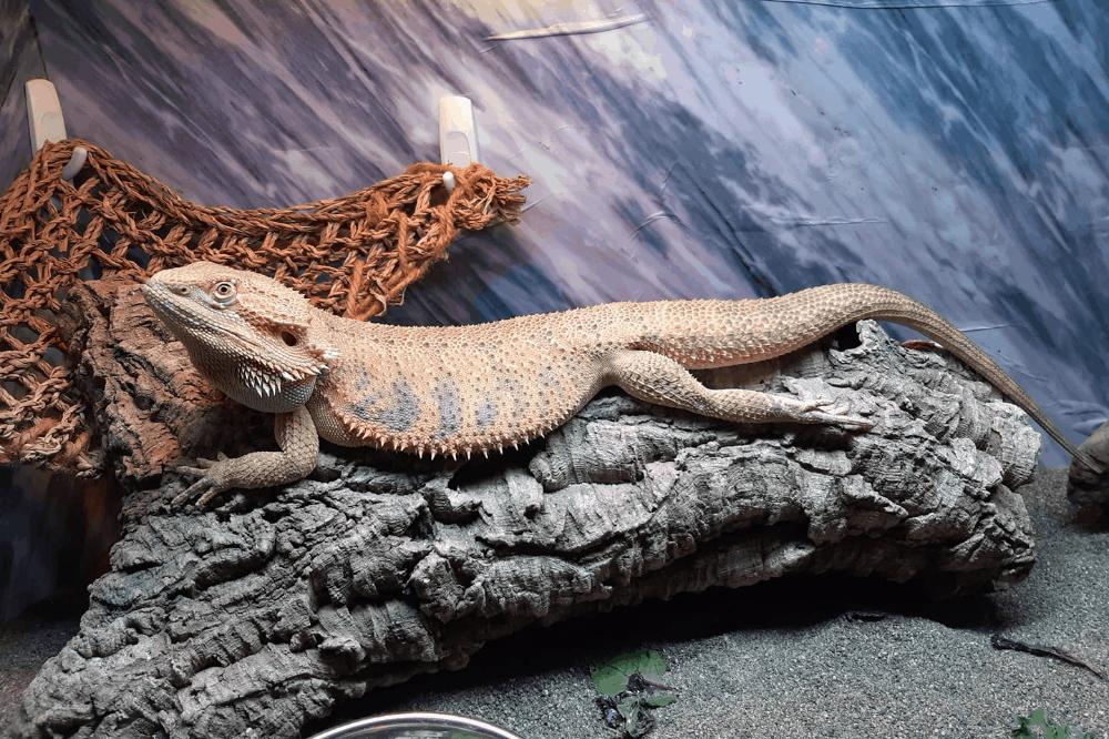 can bearded dragons eat pumpkin puree