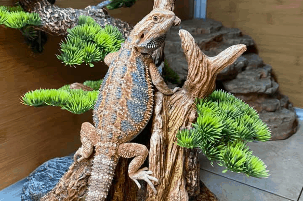 constipated bearded dragon remedy