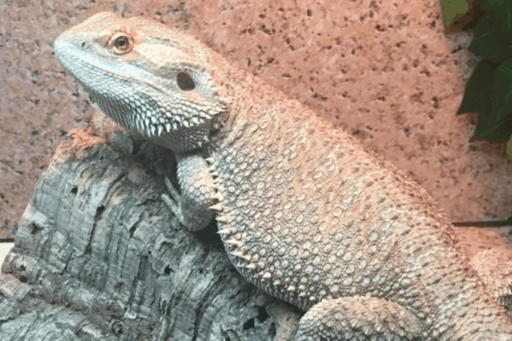 sani chips bearded dragons