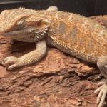 slate tile bearded dragon substrate