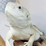 can bearded dragons eat mushrooms