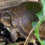 how to age a box turtle