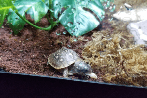 how cold can a box turtle survive