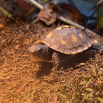 how to take care of a box turtle