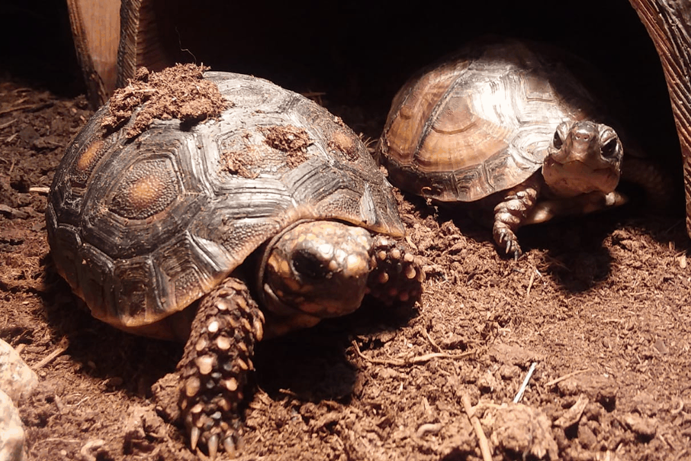 que mangent les tortues-boîtes