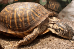 how do box turtles reproduce