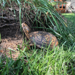 When Do Box Turtles Hibernate
