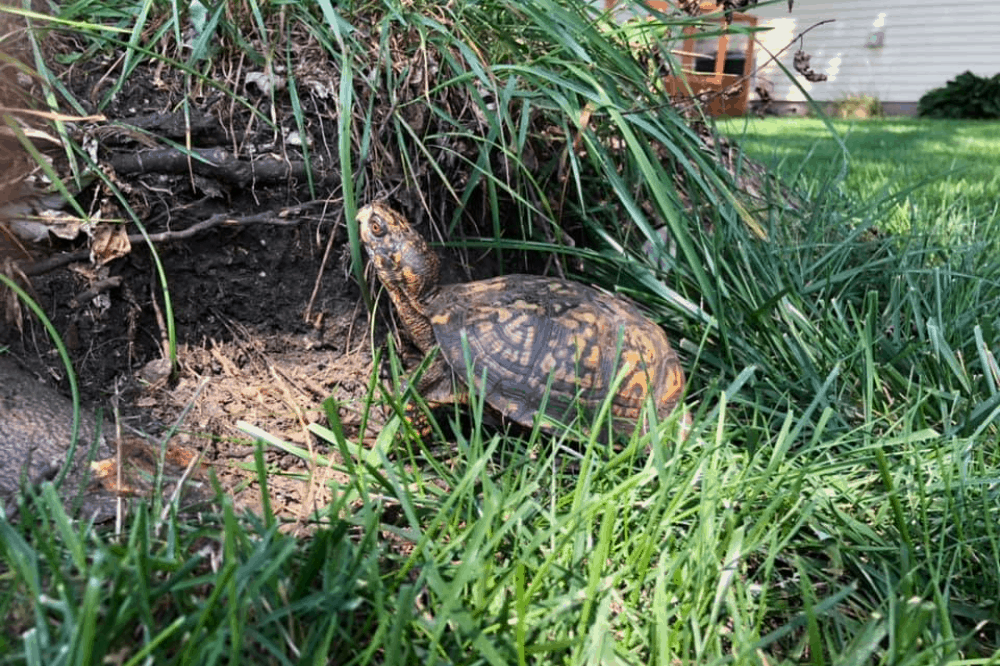 When Do Box Turtles Hibernate