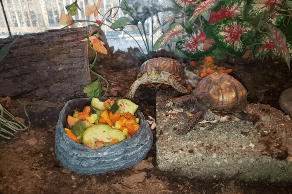 how to set up a box turtle tank