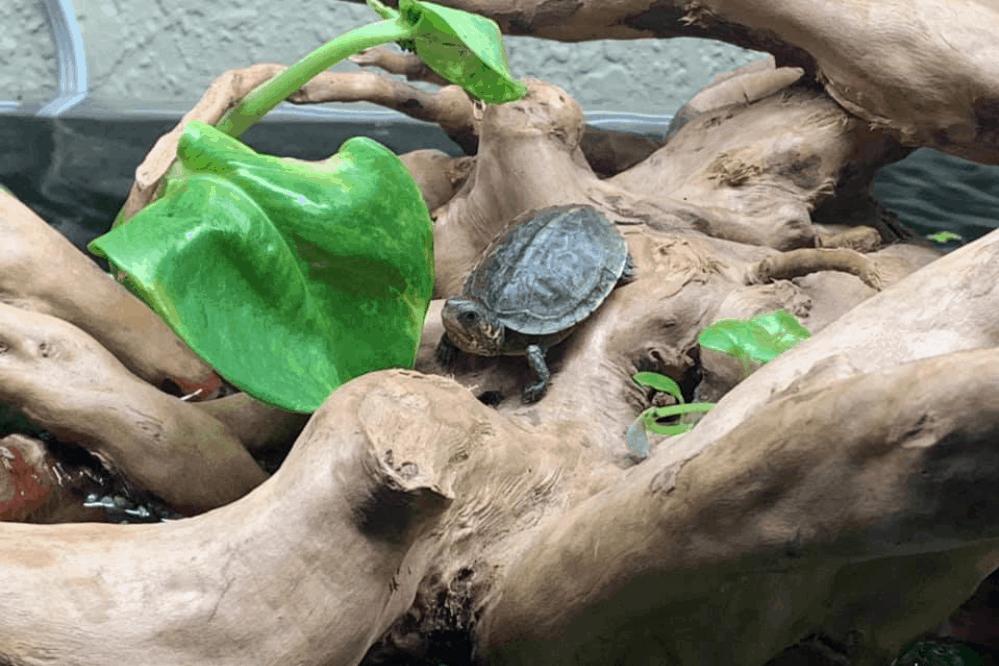 how far do box turtles roam