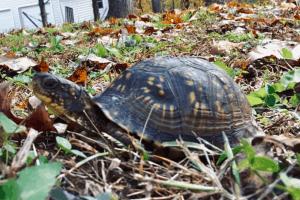how fast do box turtles grow