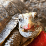 how long can a box turtle go without food and water