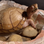 box turtle buying guide
