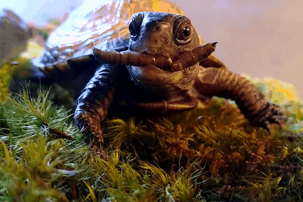 how to feed box turtles and how often