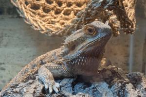 adopt a bearded dragon
