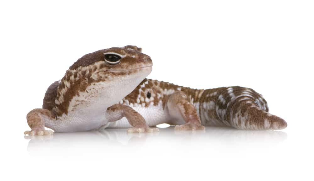 african fat tailed gecko hemitheconyx caudicinctus