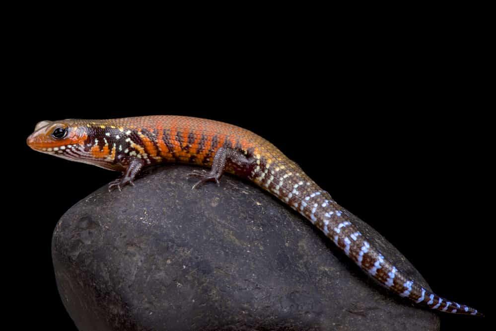fire skink, lepidothyris fernandi