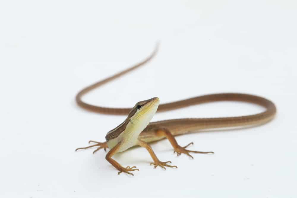 asian grass lizard