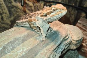 bearded dragon brumation in summer
