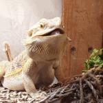 bearded dragon cancer