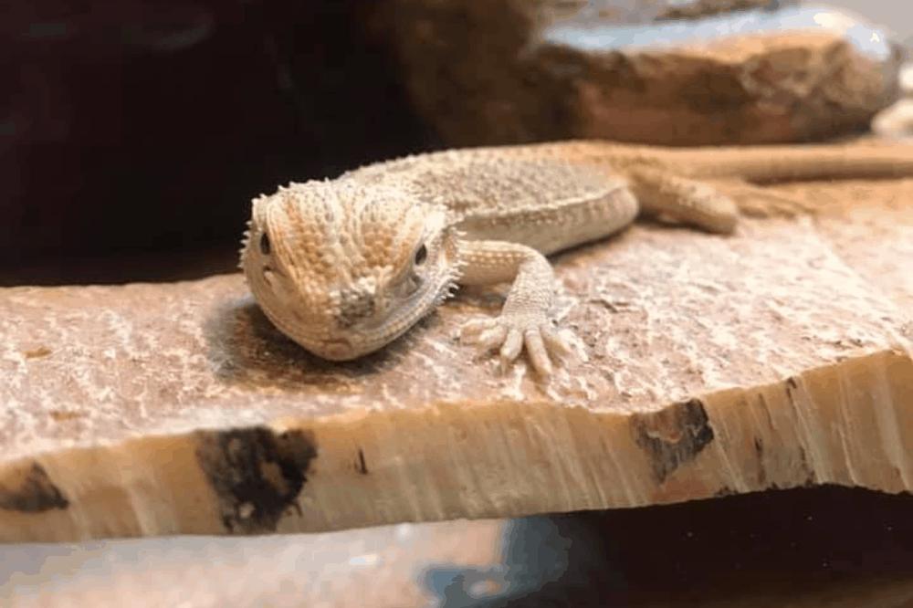bearded dragon diet sheet