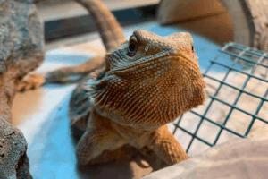 bearded dragon diseases