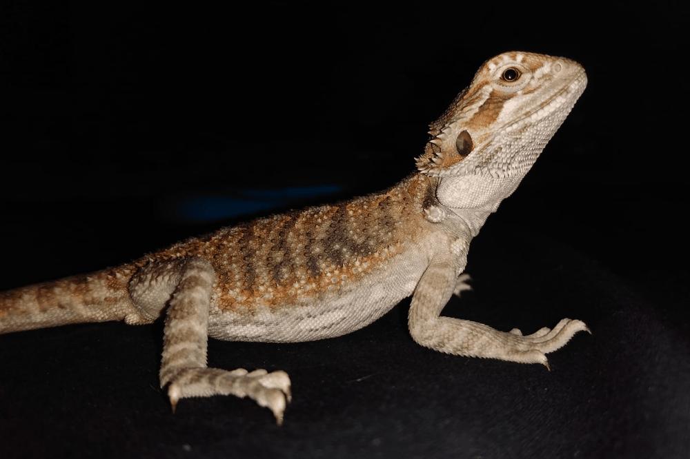 bearded dragon enema