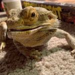 bioactive substrate bearded dragon