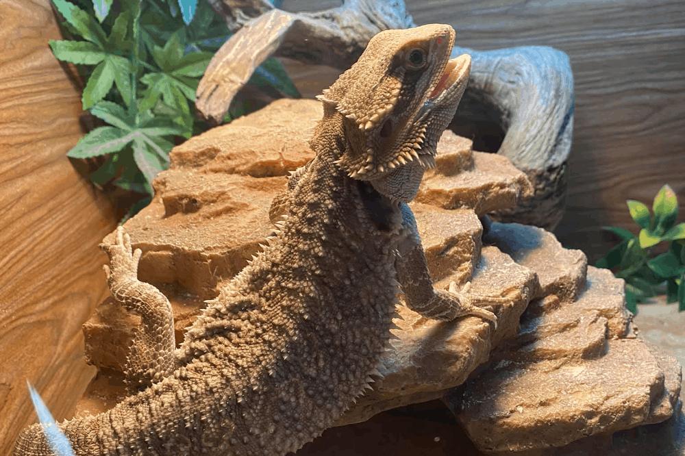 bearded dragon mirror
