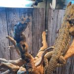 bearded dragon salmonella