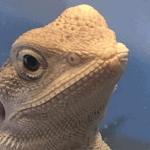 bearded dragon toy